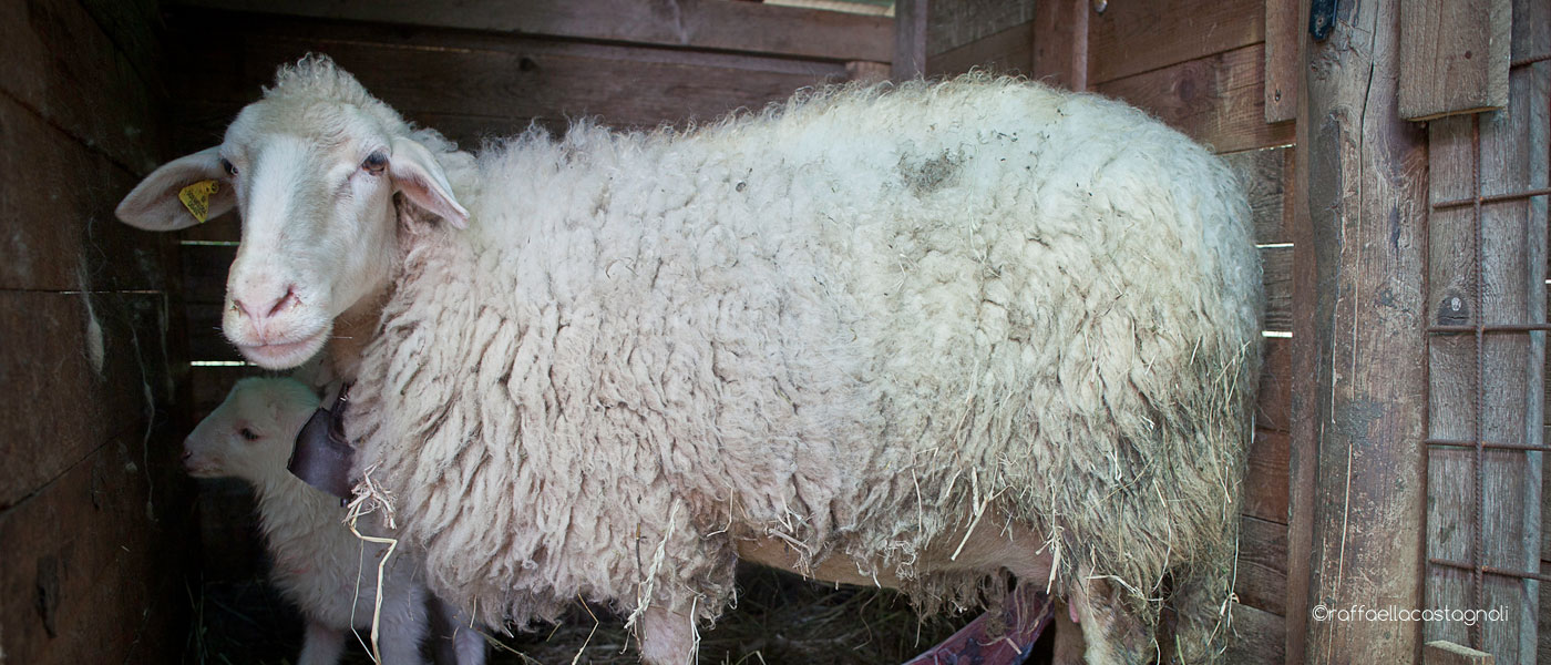a fat sheep