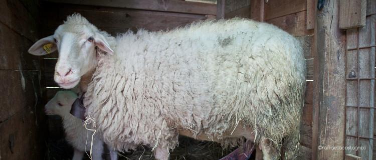 a fat sheep