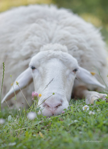 """foto della pecora """"Grassa"""""""